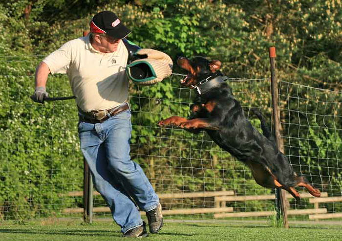 Vom Aztlan Rottweilers German Rottweiler Breeders Puppies Import